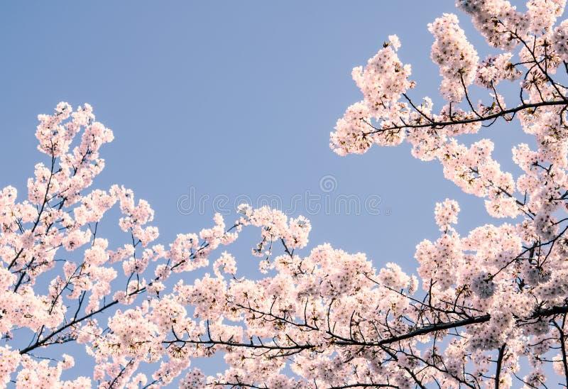 Sakura blommor eller k?rsb?rsr?d blomning i Japan royaltyfria bilder