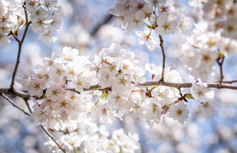 Sakura blommor eller k?rsb?rsr?d blomning i Japan arkivbilder