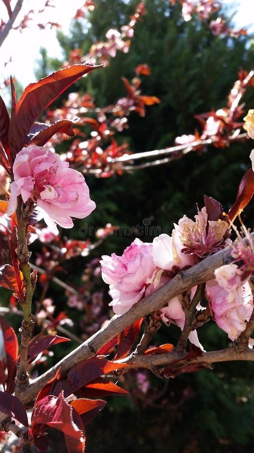 Sakura blomningar royaltyfri bild