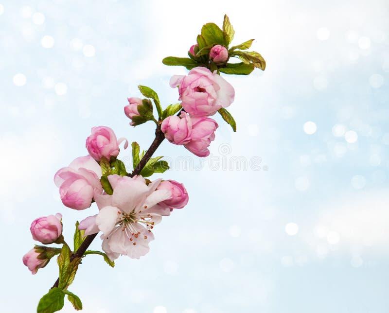 Sakura Blossom imagem de stock royalty free