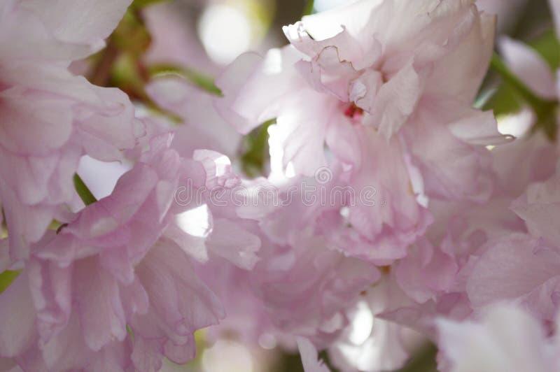 Sakura Blossom arkivfoto