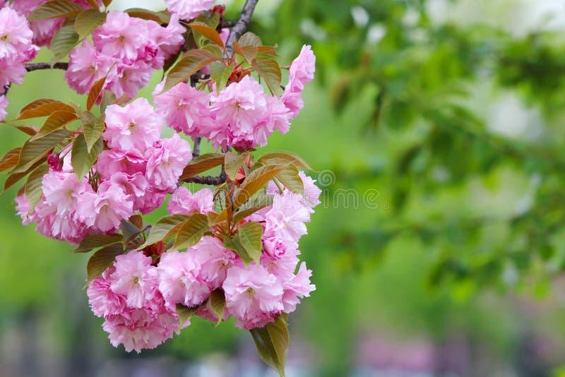 Sakura Blossom fotografia stock libera da diritti
