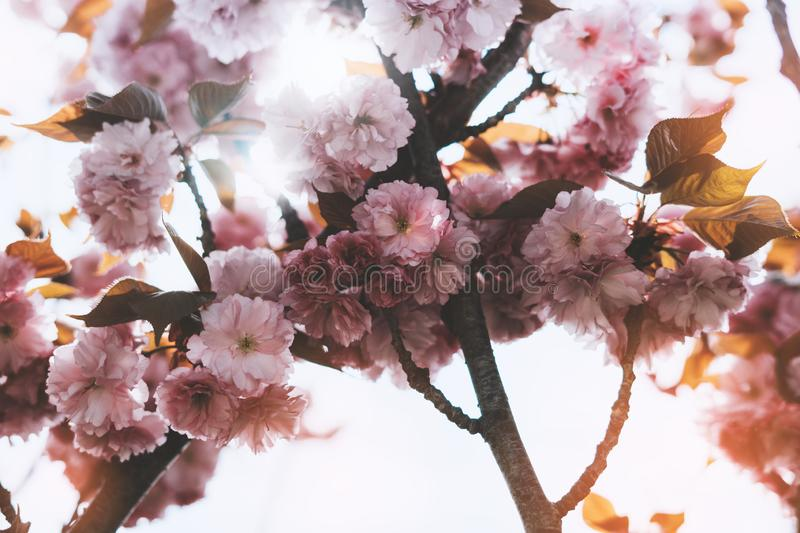 Sakura blossom on background sun flare, macro pink cherry tree in spring garden, beautiful romantic flowers for card clean space. For text, blooming flora stock photos