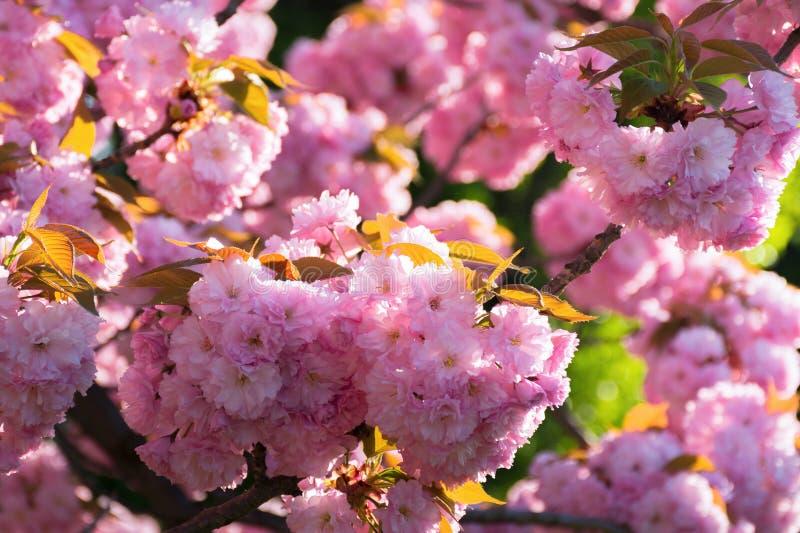 Sakura blossom. beautiful natural background stock image