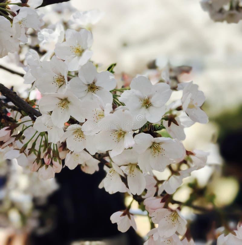 Sakura& x28 ; blossom& x29 de cerise ; dans Pékin Chine images libres de droits