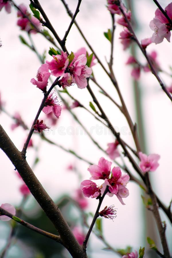 Sakura Blossom Feiertag Khanami Kirsche lizenzfreie stockbilder