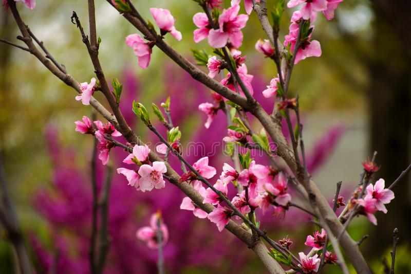 Sakura Blossom Feiertag Khanami Kirsche lizenzfreie stockfotografie