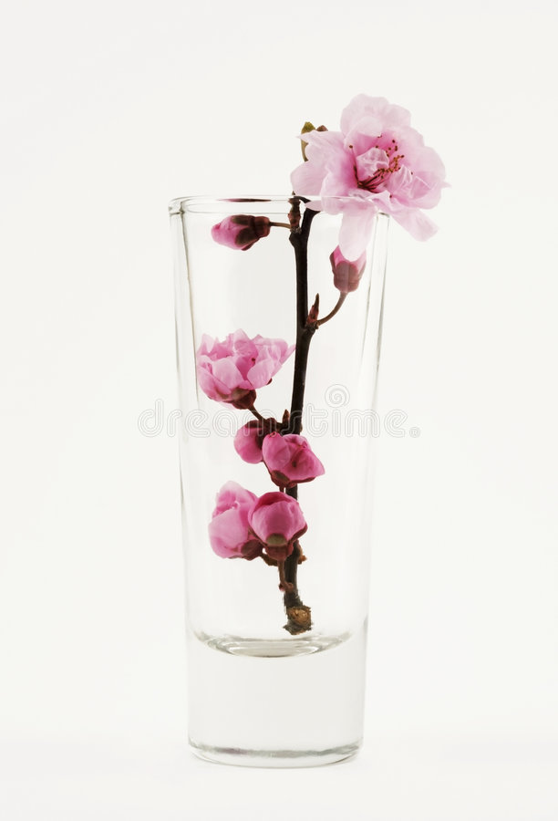 Download Sakura Blossom In A Glass Stock Photo - Image: 2300470