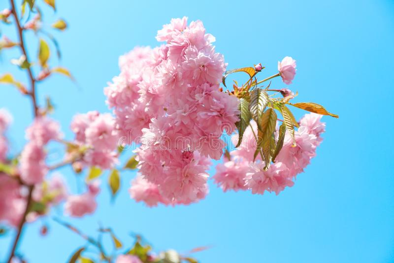 tender sakura flowers against blue sky stock photography