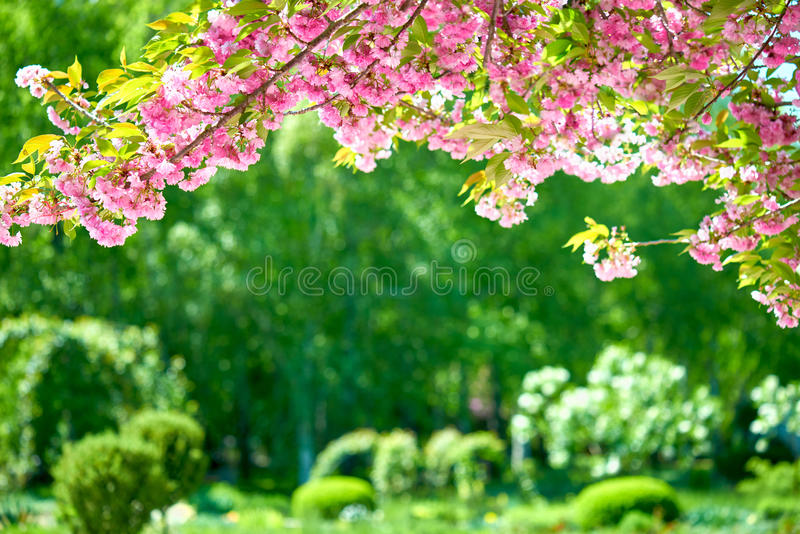 Sakura blossoms in a flower garden, beautiful spring landscape at bright day royalty free stock photo