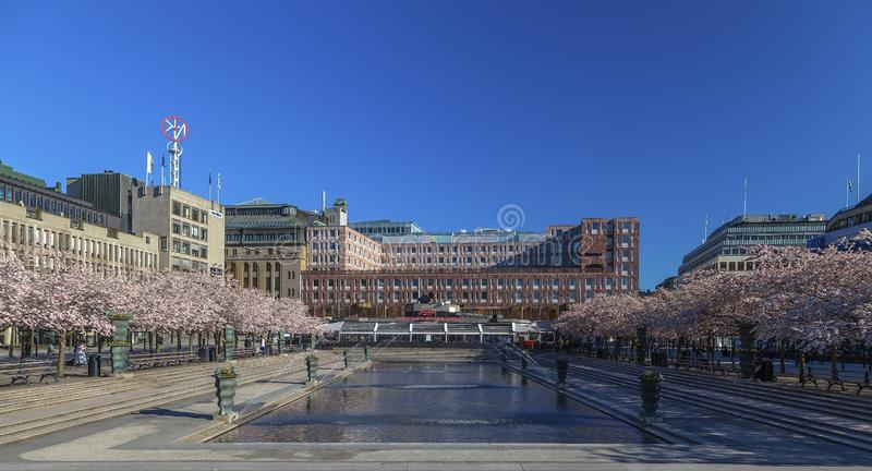 Sakura blossoms in the very center of Stockholm royalty free stock photos