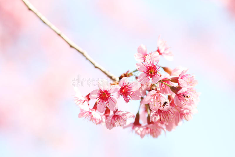 Sakura-Blumen stockbilder