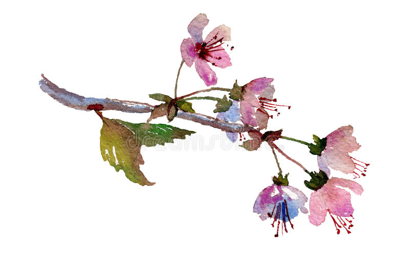 Sakura branch, cherry blossom with pink flowers. Cherry blossom, sakura branch with pink flowers. Hand painted watercolor illustration. Original art. Greeting stock illustration