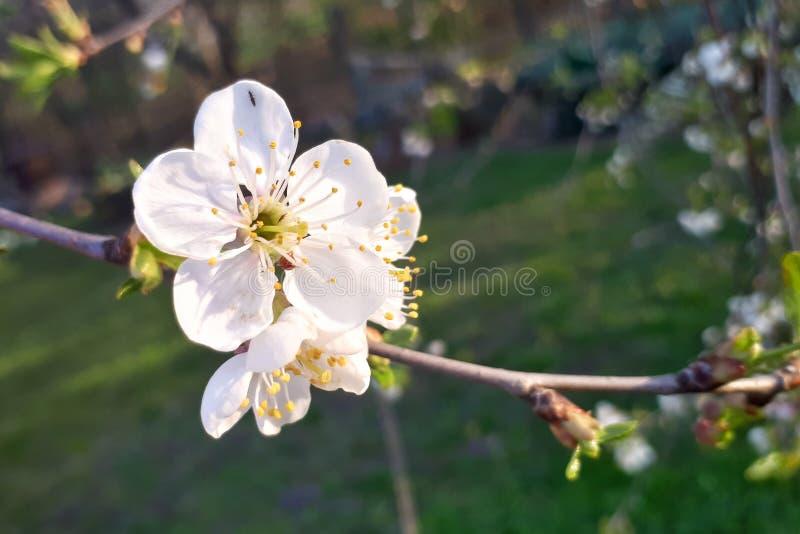 Sakura Cherry-Blüten in voller Blüte stockfotos