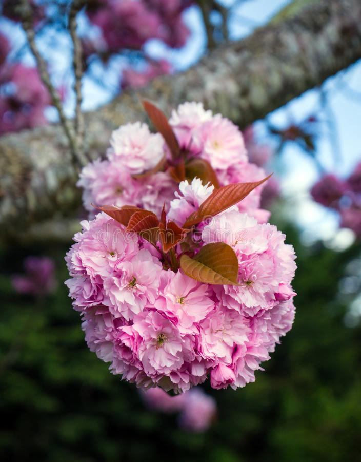 Sakura Cherry-bloesemsboom in volledige bloei royalty-vrije stock fotografie