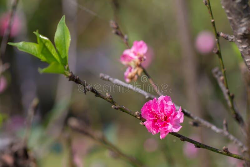 Sakura Cherry blossom. Sakura Cherry blossom stock photo