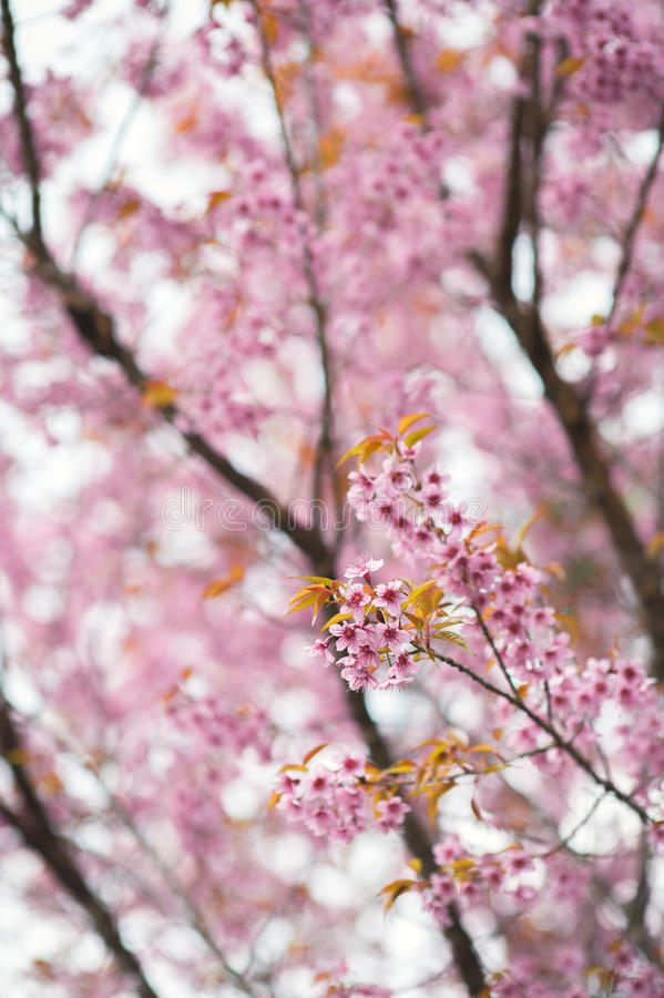 Sakura Cherry Blossom stock afbeelding