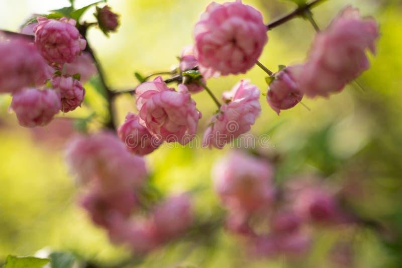 Sakura Cherry Blossom in de Lente, Mooie Roze Bloemen royalty-vrije stock afbeelding