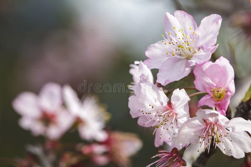 Sakura Cherry Blossom em Taiwan Flores cor-de-rosa bonitas imagem de stock royalty free
