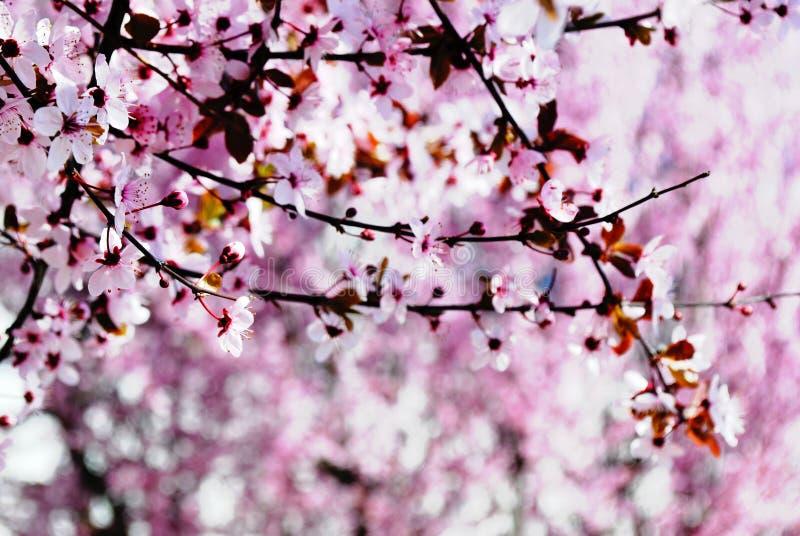 Sakura. Cherry blossom in full bloom. Pink Cherry flowers on a c stock image