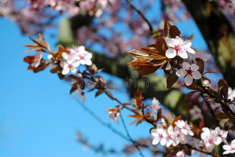 Sakura. Cherry blossom in full bloom. Pink Cherry flowers on a c royalty free stock photography