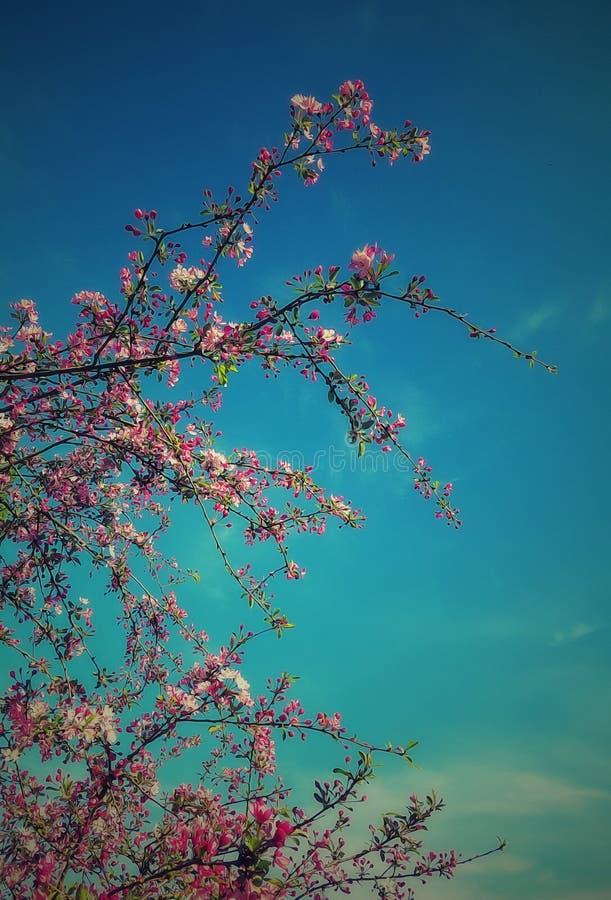Sakura cherry blossom stock photos