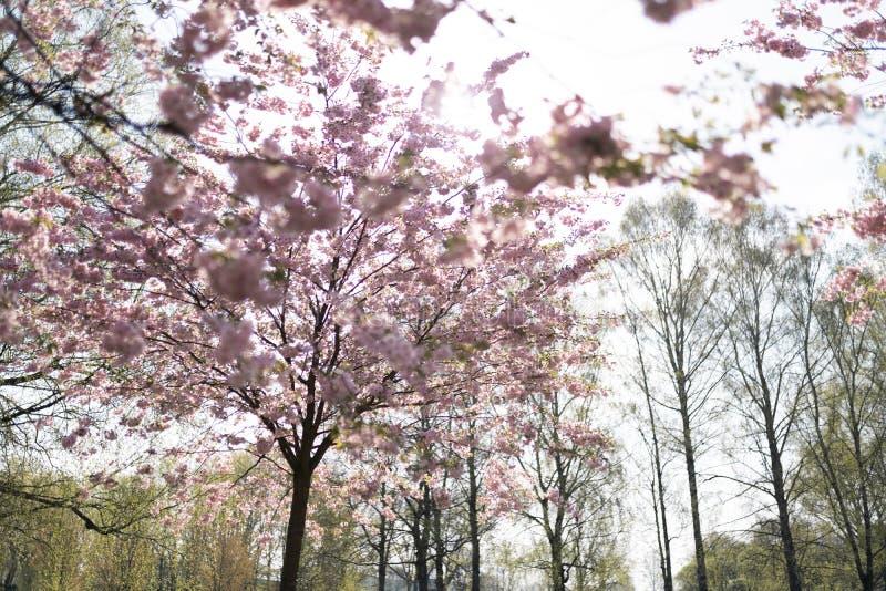 Sakura Cherry Blossom parkerar i vår som tycker om naturen och fri tid under hennes resande arkivfoton
