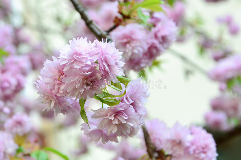 Sakura cherry blossom royalty free stock photos