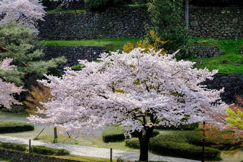 Sakura cherry blossoms branch tree in park or national garden on sunny day, focus soft pink full bloom a sakura tree in middle nex stock images