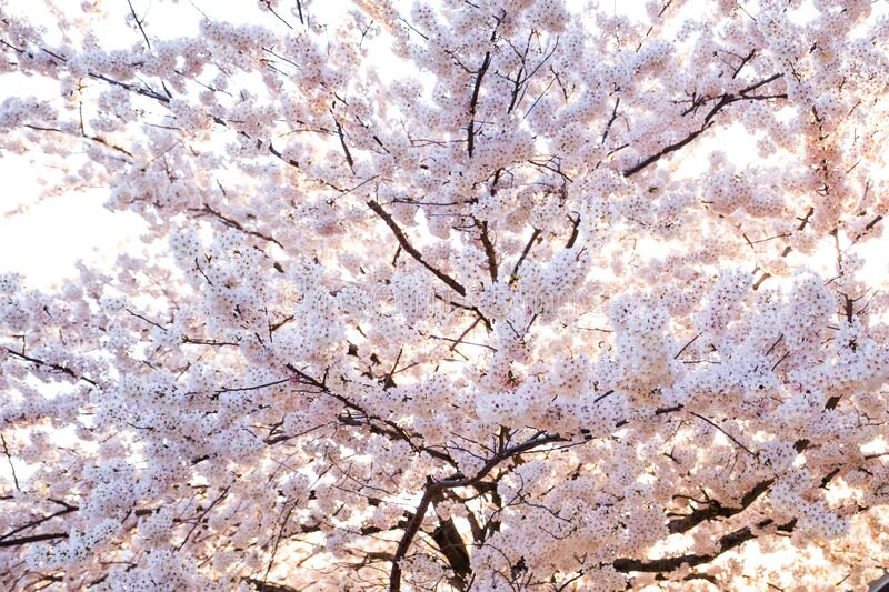 Sakura cherry blossoms flower tree bright on white isolated sky background against sun shine ,flowers turn to pink color in spring stock photos