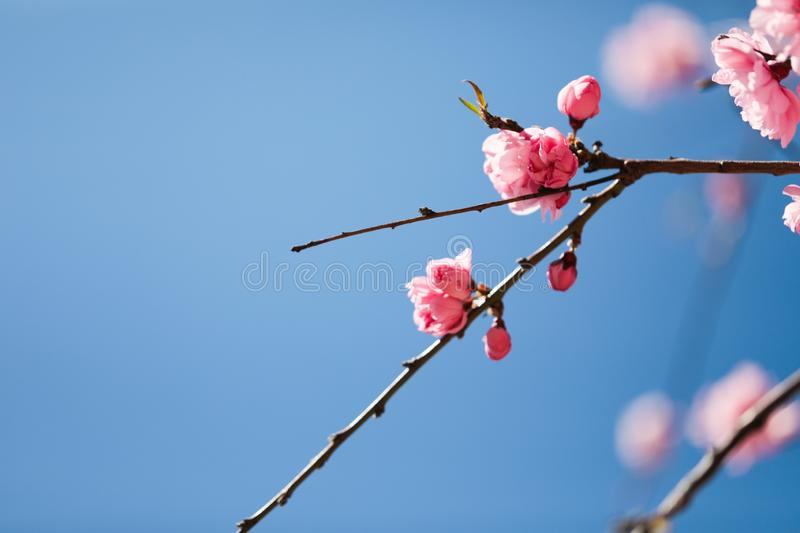 Sakura cherry blossoms tree in pink color on blue sky background, turn full blooming ,full frame photo good for pink background stock photography