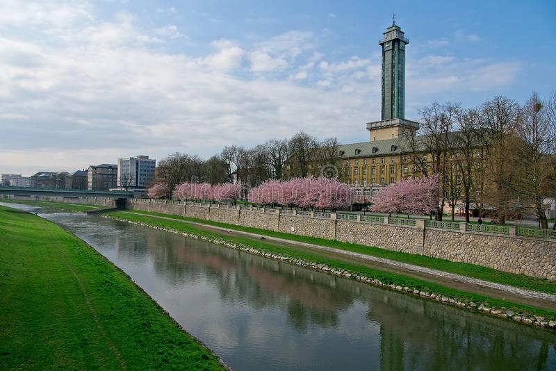 Sakura cherry trees in park in Ostrava. Wite and pink blooming cherry sakura trees in line in a park next to Ostrava town hall and Ostravice river in a morning royalty free stock photos