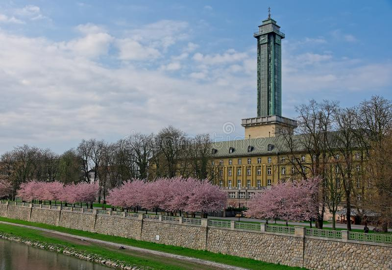 Sakura cherry trees in park in Ostrava. Wite and pink blooming cherry sakura trees in line in a park next to Ostrava town hall and Ostravice river in a morning royalty free stock images