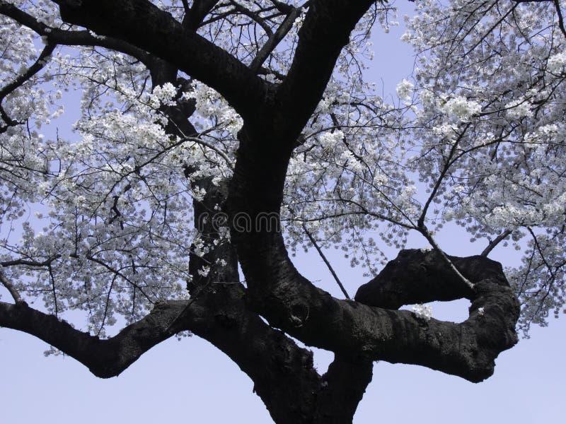 Sakura con la rama que se encrespa imagen de archivo libre de regalías