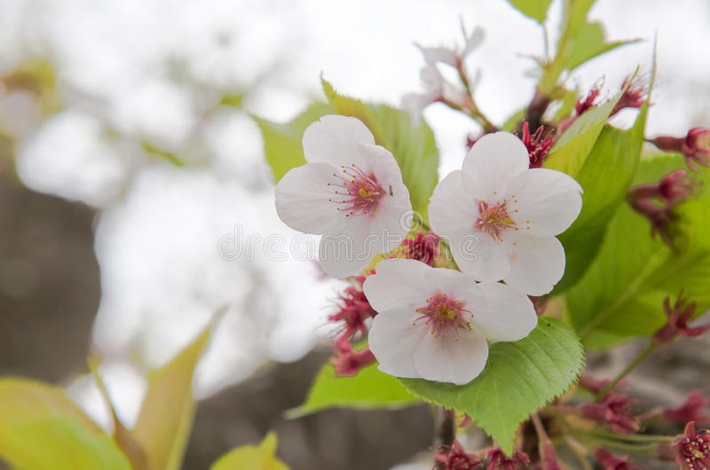 Sakura cor-de-rosa fotos de stock