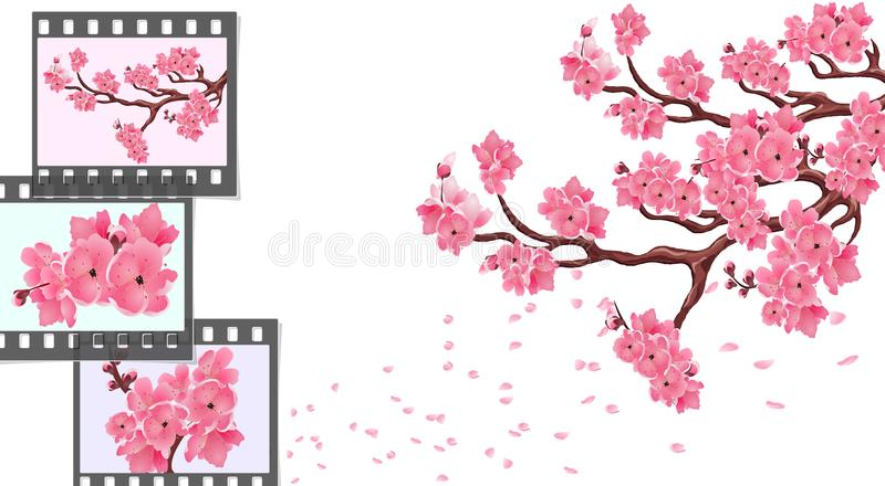 Sakura. curved branches of a cherry tree with small flowers and cherry buds and close-up. Frames for photographic film stock illustration