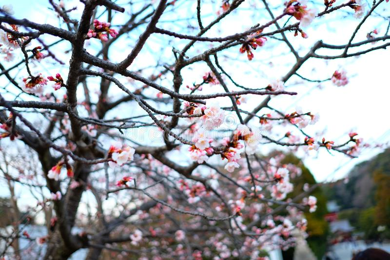 Sakura Czereśniowi okwitnięcia w Japonia zdjęcia stock