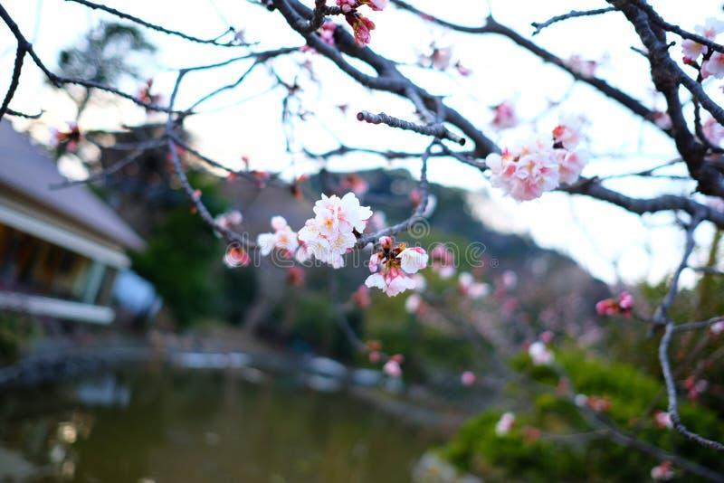 Sakura Czereśniowi okwitnięcia w Japonia obrazy stock