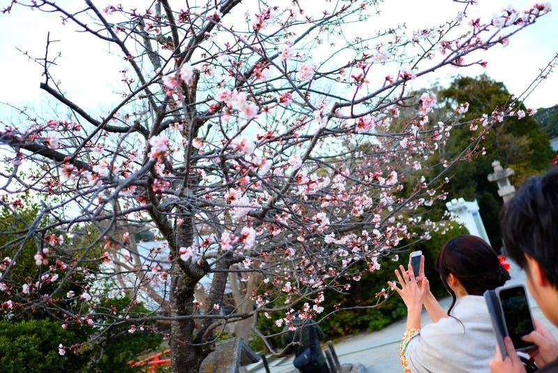 Sakura Czereśniowi okwitnięcia w Japonia zdjęcia royalty free