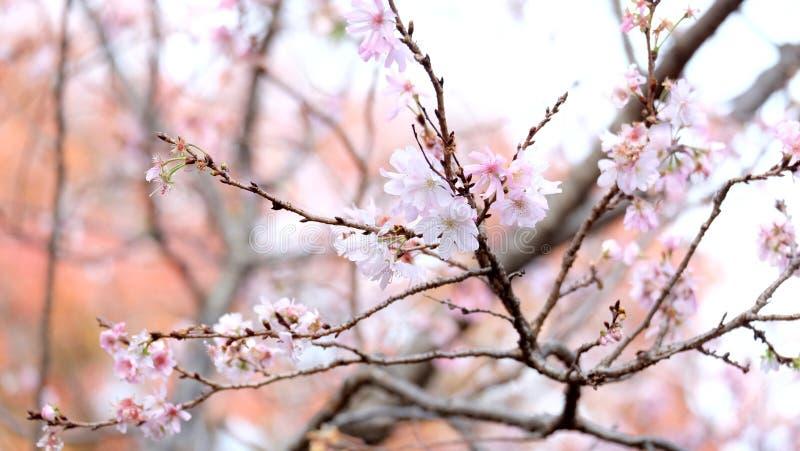 Sakura, czereśniowi okwitnięcia w Japonia fotografia stock