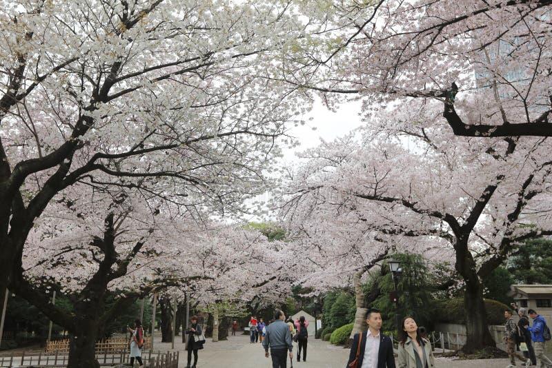 Sakura das flores de cerejeira do Tóquio na flor completa fotos de stock