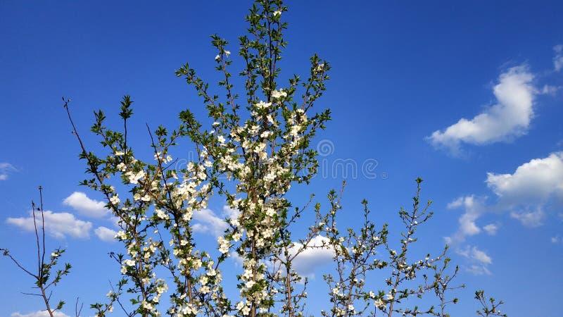 Sakura de floraison blanc d'arbre de source d'isolement par fond Fleur jaune de cerise de cornaline Blanc et bleu images libres de droits