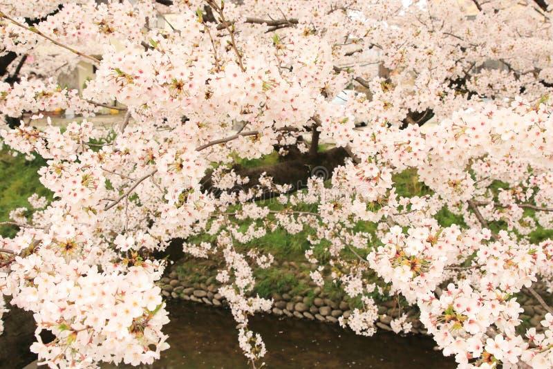 Sakura del fiume di Gojo immagini stock libere da diritti