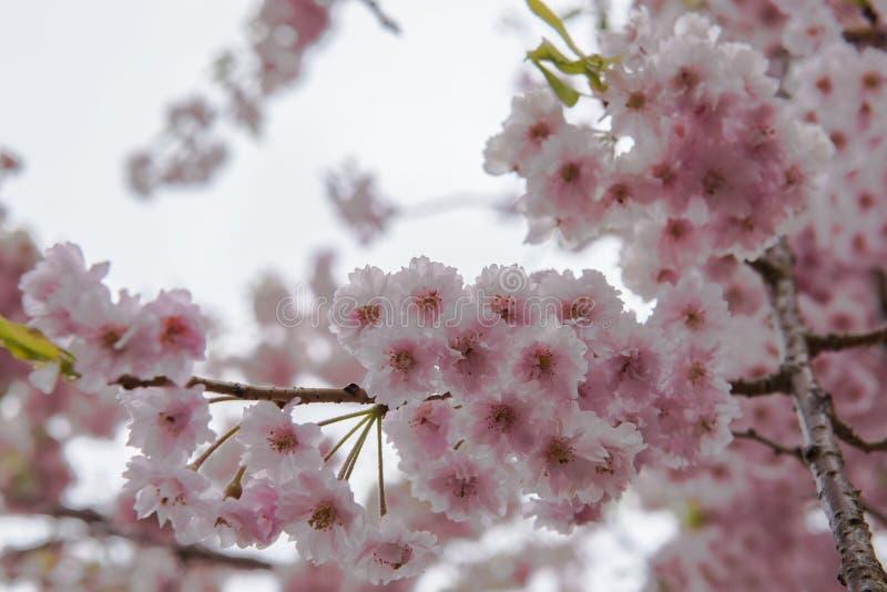 Sakura dentellare immagine stock libera da diritti