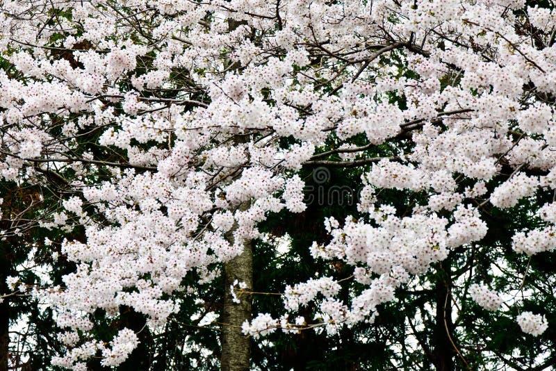 Sakura di fioritura immagine stock