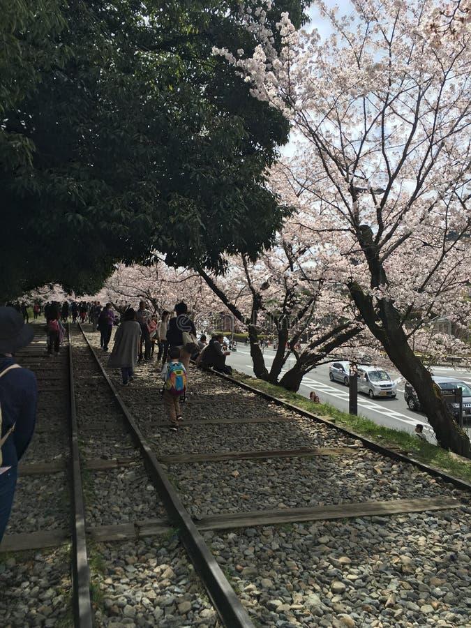 Sakura drzewo fotografia royalty free