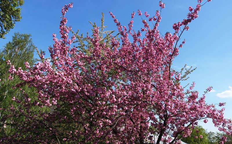 Sakura drzewo kwitnie w wiośnie obrazy stock