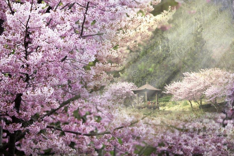 Sakura drzewo pod sunlingt zdjęcie royalty free