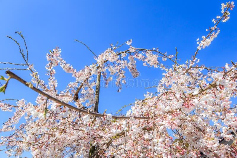 Sakura e fare il giardinaggio immagini stock