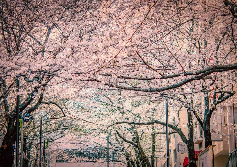 Sakura eller den k?rsb?rsr?da blomningen som offentligt blommar, parkerar arkivbilder